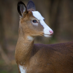13.Piebald White Tailed Deer - Don Specht