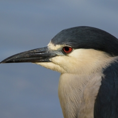 5.Black Crowned Night Heron - Larry Weinman
