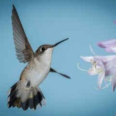 8.Hummingbird Flight - Betty Bryan