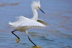 11.Snowy Egret Walking On Water - Paul Santo