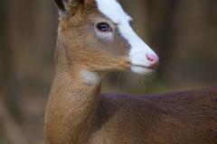 13.Piebald White Tailed Deer - Don Specht