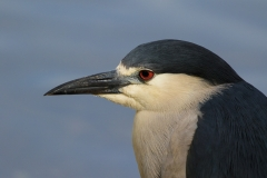 5.Black Crowned Night Heron - Larry Weinman