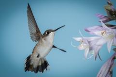 8.Hummingbird Flight - Betty Bryan