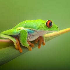 Realistic Award - Red-Eyed Frog - Terry Butler