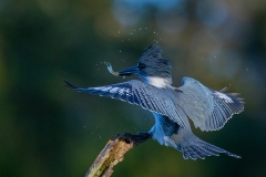 Realistic Award -  Male Belted Kingfisher With Minnow - Gary Schafer