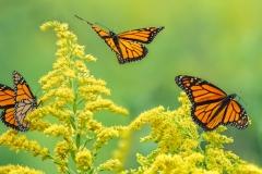 Realistic Award - Monarchs In Motion - Marianne Diericks