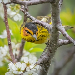 NNature - Cape May Warbler - Marianne Diericks
