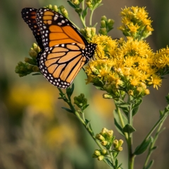Nature - Monarch Butterfly - Michael Waterman
