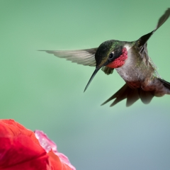 Nature - Ruby-Throat Hummingbird - Betty Bryan