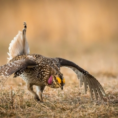 Nature - Sharp-tailed Grouse Display - Betty Bryan