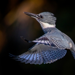 Realistic - Male Belted Kingfisher - Gary Schafer