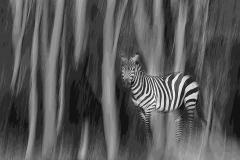 Contemporary - Forest Zebra - Melissa Anderson