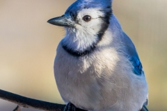 Nature - Bluejay - Larry Weinman