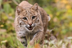 Nature - Bobcat Stalk - Melissa Anderson