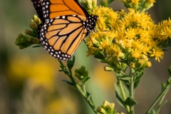 Nature - Monarch Butterfly - Michael Waterman