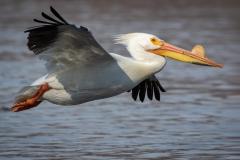 Nature - Pelican - Betty Bryan