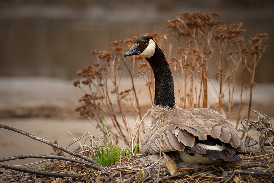 Nesting Goose - Betty Bryan