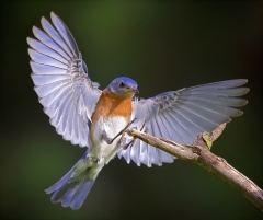 1st Place Nature - Eastern Bluebird Landing - Don Specht