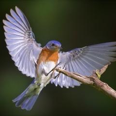 1st Place Nature - Eastern Bluebird Landing - Don Specht