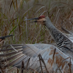 2nd Place Nature - Crane Attack - MJ Springett