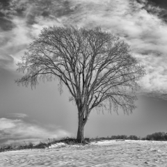 3rd Place Mono Print - Stout Lonely Tree - Steve Cole