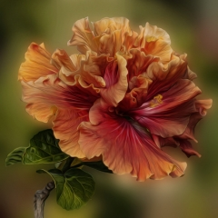 02.Double Hibiscus - Pat Chiconis