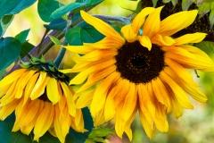 03.Jolynne's Sunflowers - Mary Johnson