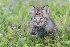 14.Bobcat Kitten - Melissa Anderson