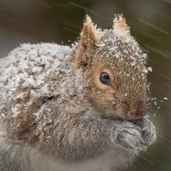 16.Winter Squirrel-MJ Springett