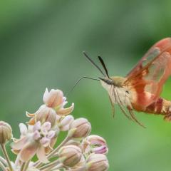 Assignment - Clearwing Hummingbird Moth - Marianne Diericks
