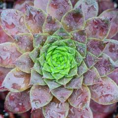 AAssignment - Dew-Drop Succulent - Sarah Hefty