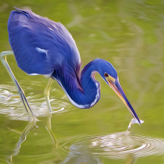 Creative - Tri-colored Heron with Lunch - Don Specht