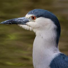 Nature - Black Crowned Night Heron II - Larry Weinman