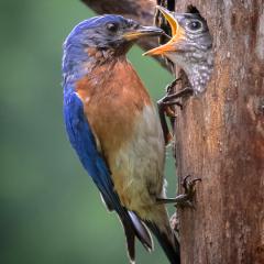 Nature - Bluebird Feeding Nestling - Don Specht