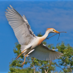 Nature - Cattle Egret Nest Building - Don Specht
