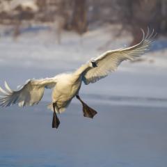 Nature - Descending Swan - Larry Weinman