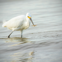 Nature - Great White Heron - Kathy Lauerer