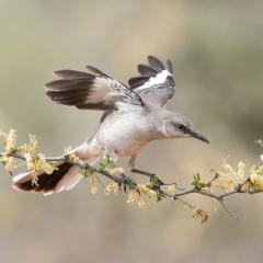 Nature - Northern Mockingbird - Melissa Anderson