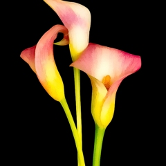 Contemporary - Calla Lilies - Terry Butler