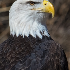 Nature - Bald Eagle - Michael Waterman
