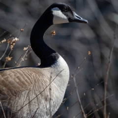 Nature - Canada Goose - Mary Johnson