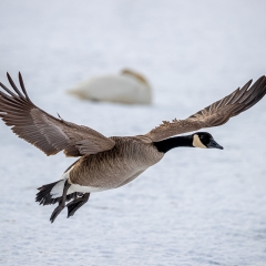 Nature - Goose Landing in Swans - Fred Sobottka