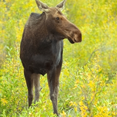 Nature - Moose Encounter - Terry Butler
