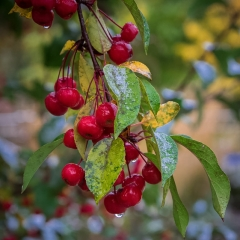 Realistic - Crab Apples - Michael Waterman