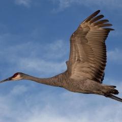 Realistic - Crane Rising - Larry Weinman