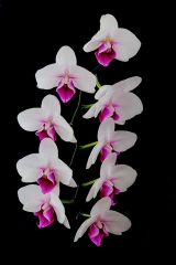 Realistic - Orchid - Larry Weinman