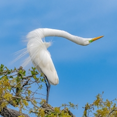 Nature Award - Great Egret Mating Display - Marianne Diericks