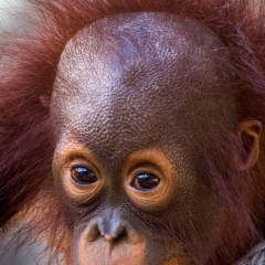 Realistic Honorable Mention - Orangutan Baby - Mary Johnson