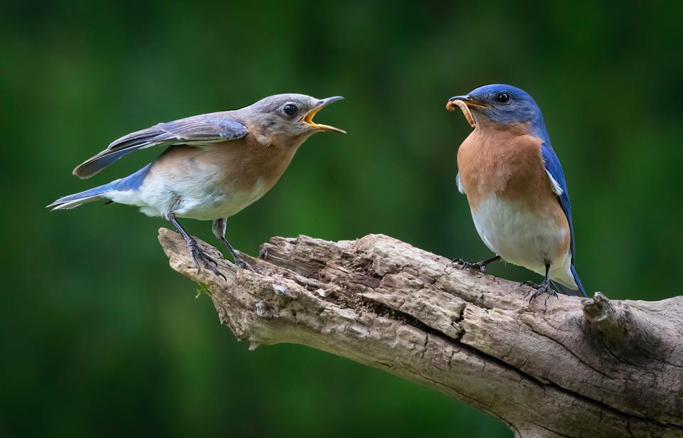 5.Bluebird Begging