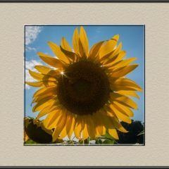 2.Sunflower-Sunburst-292